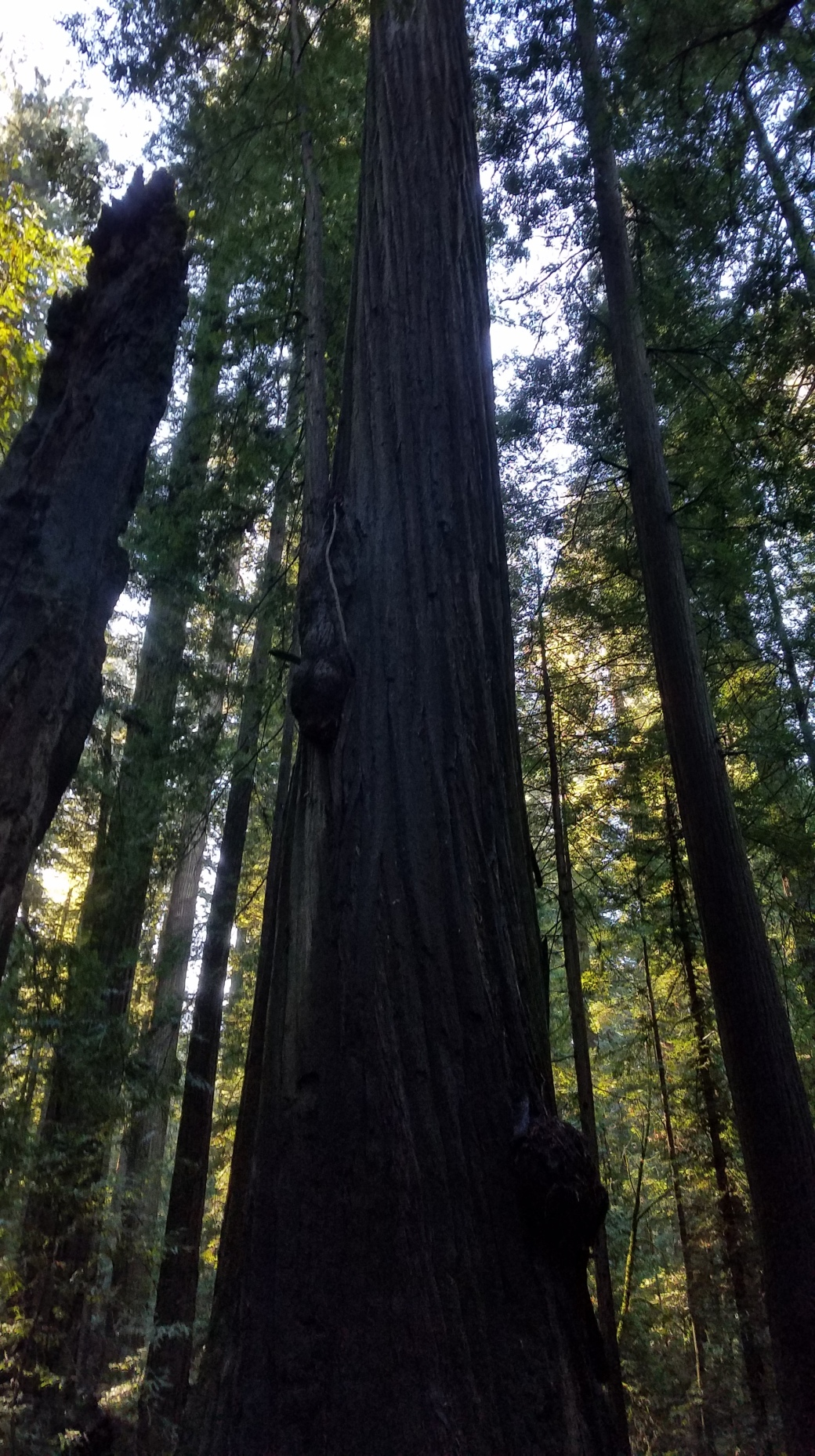 avenue of the giants6