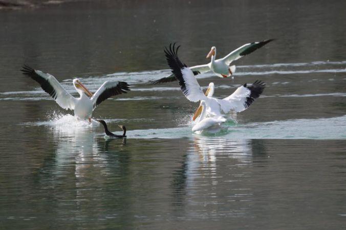 Lake Cahuilla Pelicans-08