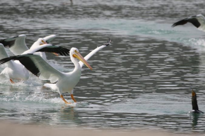 Lake Cahuilla Pelicans-15