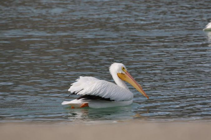 Lake Cahuilla Pelicans-16