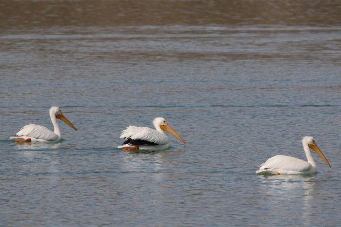 Lake Cahuilla Pelicans-17